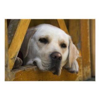 Labrador retriever blond, Patagonia, Chili Photos