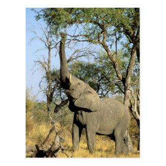 L'Afrique, Botswana, delta d'Okavango. Africain 2 Carte Postale