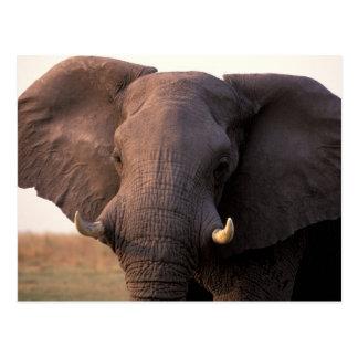 L'Afrique, Botswana, delta d'Okavango. Éléphant Carte Postale