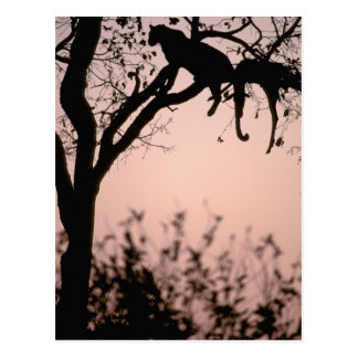 L'Afrique, Botswana, delta d'Okavango. Léopard Carte Postale