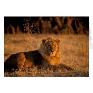 L'Afrique, Botswana, delta d'Okavango. Lion Carte De Vœux