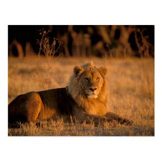 L'Afrique, Botswana, delta d'Okavango. Lion Carte Postale