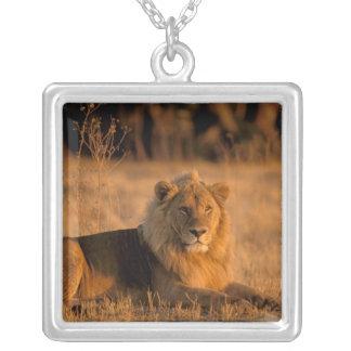 L'Afrique, Botswana, delta d'Okavango. Lion Collier