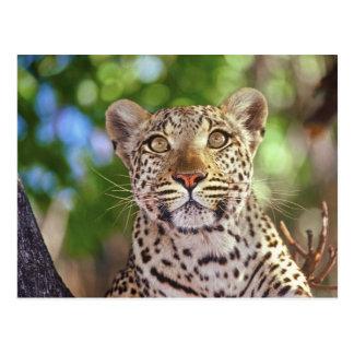 L'Afrique, Botswana, delta d'Okvango, léopard Carte Postale