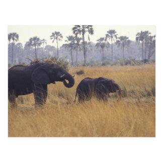 L'AFRIQUE, Botswana, éléphant africain Carte Postale