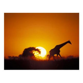 L'Afrique, Botswana, parc national de Chobe, Carte Postale