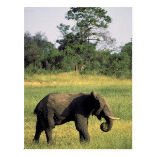 L'Afrique, Botswana, parc national de Chobe. Carte Postale