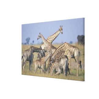 L'Afrique, Botswana, parc national de Chobe, Toiles
