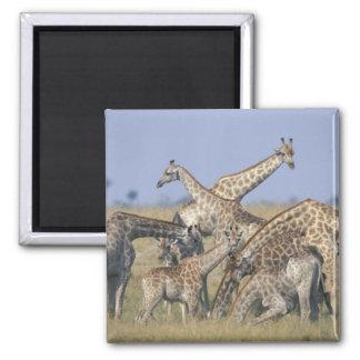 L'Afrique, Botswana, parc national de Chobe, troup Magnet Carré