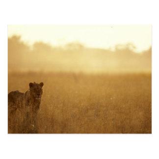L'Afrique, Botswana, réservation de jeu de Moremi, Carte Postale