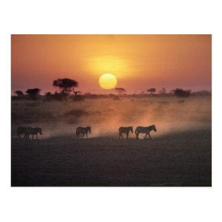 L'Afrique, Kenya, Amboseli NP. Promenade de zèbre Carte Postale