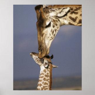 L'Afrique, Kenya, masai Mara. Girafes (girafe Poster