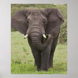L'Afrique. La Tanzanie. Éléphant au cratère de Ngo Affiches