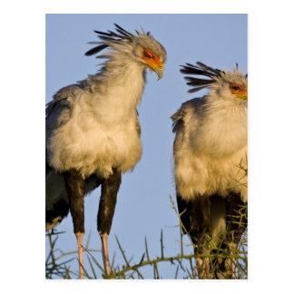 L'Afrique. La Tanzanie. Secrétaire oiseaux chez Carte Postale