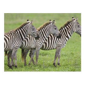L'Afrique. La Tanzanie. Zèbres au cratère de Carte Postale