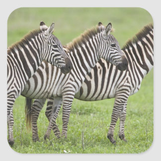 L'Afrique. La Tanzanie. Zèbres au cratère de Sticker Carré