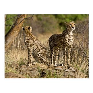 L'Afrique. Le Kenya. Guépards chez Samburu NP Carte Postale