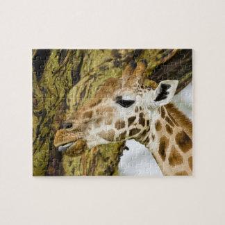 L'Afrique. Le Kenya. La girafe de Rothschild au la Puzzle