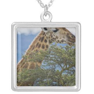 L'Afrique. Le Kenya. La girafe de Rothschild au Pendentif Carré