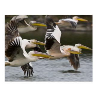 L'Afrique. Le Kenya. Pélicans blancs en vol au lac Carte Postale