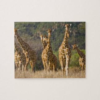 L'Afrique. Le Kenya. Troupeau de girafes réticulée Puzzle