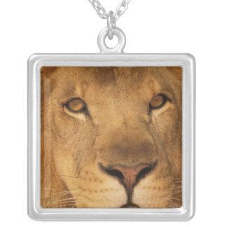 L'Afrique. Lion masculin africain, ou panthera Collier