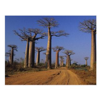L'Afrique, Madagascar, Morondava, avenue de baobab Carte Postale