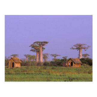 L'Afrique, Madagascar, Morondava. Baobabs Carte Postale
