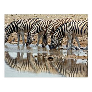 L'Afrique, Namibie, Etosha NP. Le zèbre de Carte Postale