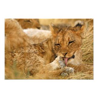 L'Afrique, Namibie, Etosha NP. Panthera de lion Photographe
