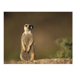L'Afrique, Namibie, Keetmanshoop, Meerkat Carte Postale