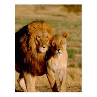 L'Afrique, Namibie, Okonjima. Lion et lionne Carte Postale