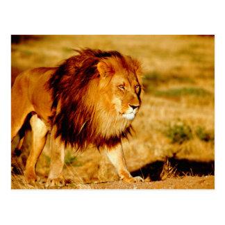 L'Afrique, Namibie, Okonjima. Lion masculin Carte Postale