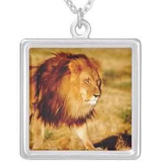 L'Afrique, Namibie, Okonjima. Lion masculin Collier