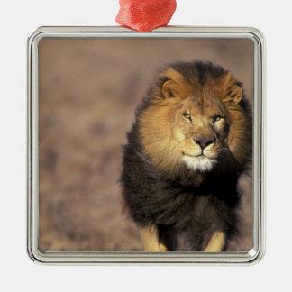 L'Afrique. Panthera africain masculin Lion de Ornement Carré Argenté