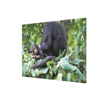 L'Afrique, Tanzanie, chimpanzé de femelle de Gombe Toiles