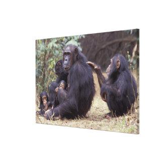 L'Afrique, Tanzanie, femelle infantile de Gombe NP Toiles