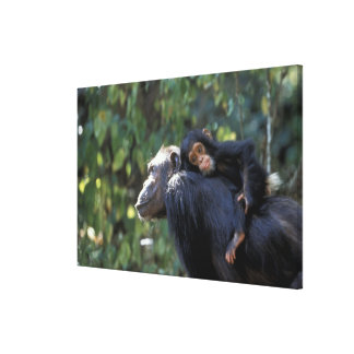 L'AFRIQUE, Tanzanie, Gombe NP, chimpanzés.  Toiles