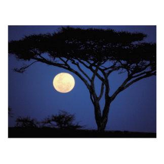 L'Afrique, Tanzanie, Tarangire. Arbre d'acacia Cartes Postales
