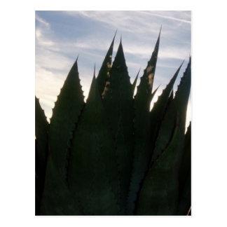 L'agave monte en flèche carte postale