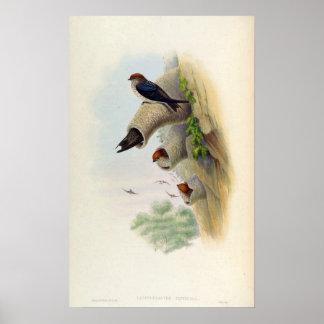 Lagenoplastes Fluvicola (hirondelle de falaise Poster