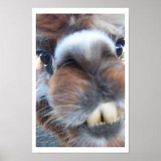 Lama ringard affiche