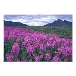 L'Amérique du Nord, Canada, le Yukon. Fleurs de Fi Tirage Photo
