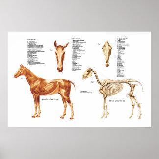 L'anatomie de cheval désosse et Muscles l'affiche Poster