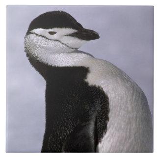 L'Antarctique. Pingouin de jugulaire Grand Carreau Carré