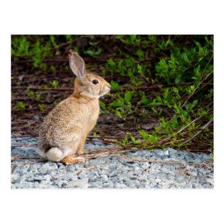 Lapin de lapin de désert carte postale