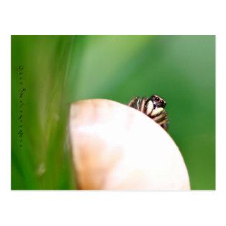 """L'araignée saltique """"la sauteuse"""" carte postale"""