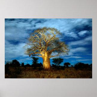 L'arbre de baobab (Adansonia) s'allument par la Affiche