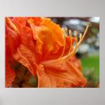 L'art de Rhodies d'orange des fleurs 6 d'azalée im Posters