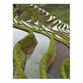 L'Asie, Chine, Yunnan, Yuanyang. Riz inondé Carte Postale